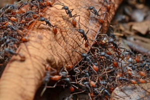 A swarm of army ants in Central America