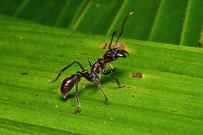 Bullet ant in the rainforest in Costa Rica