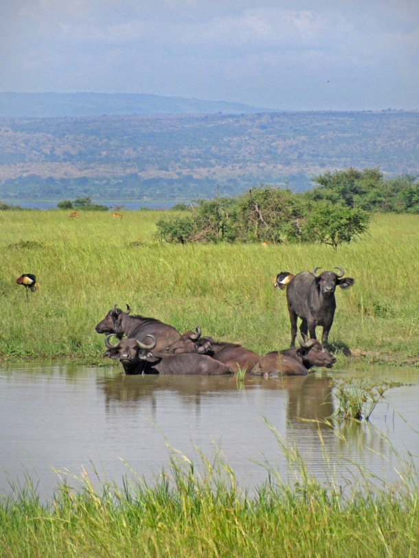 Buffalo in Murchison Falls National Park