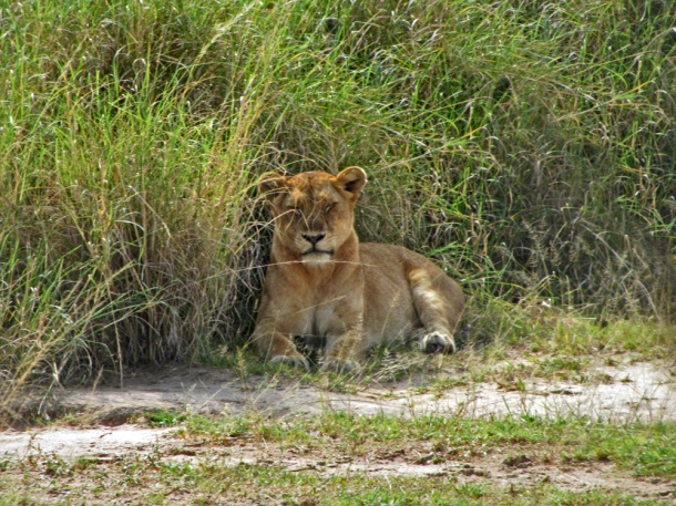 A sleepy lion in Murchison Falls National Park
