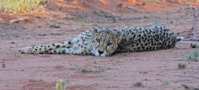 Cheetah at AfriCat, Okonjima, Namibia