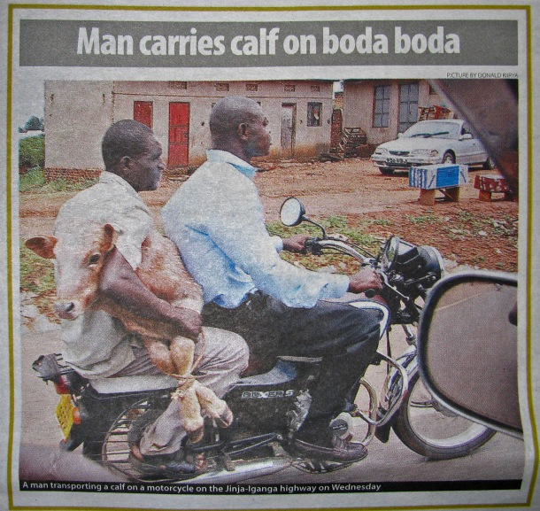 Man carries calf on boda boda, Kampala, Uganda