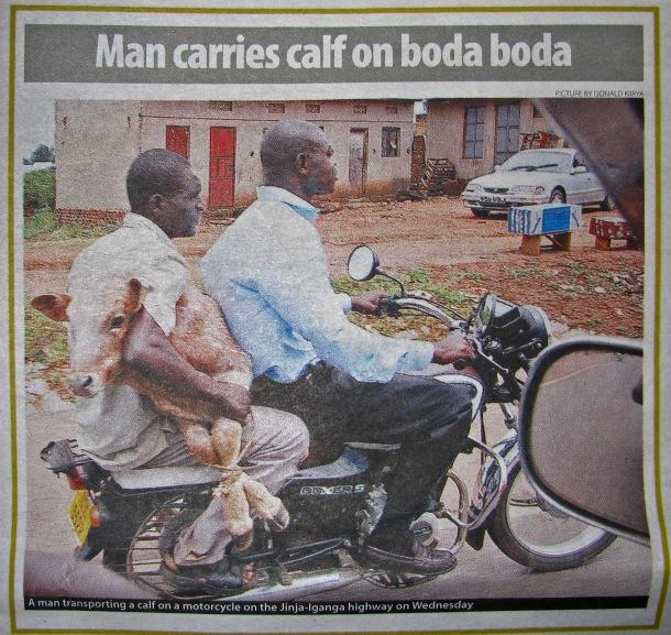 Man carries calf on boda boda, Kampala, Uganda
