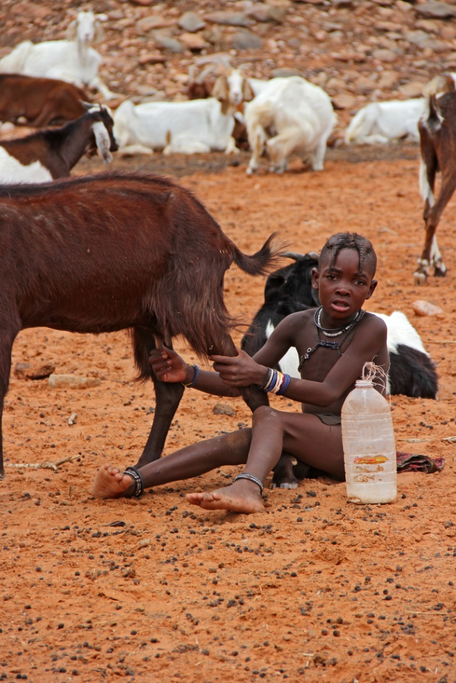 A young Himba girl milks a goat in Kunene, Namibia
