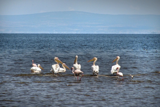 Pelicans on Lake Shala, Abiata Shala National Park, Ethiopia