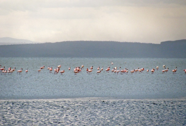 Flamingoes on Lake Abiata, Abidjatta-Shalla National Park, Ethiopia